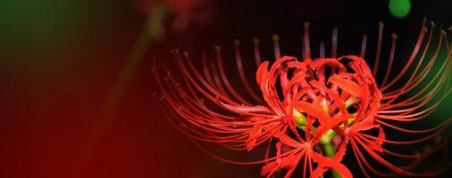 Truyền thuyết và ý nghĩa - bài thơ về hoa bỉ ngạn