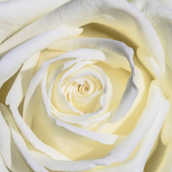 Hoa hồng màu trắng có nghĩa gì?