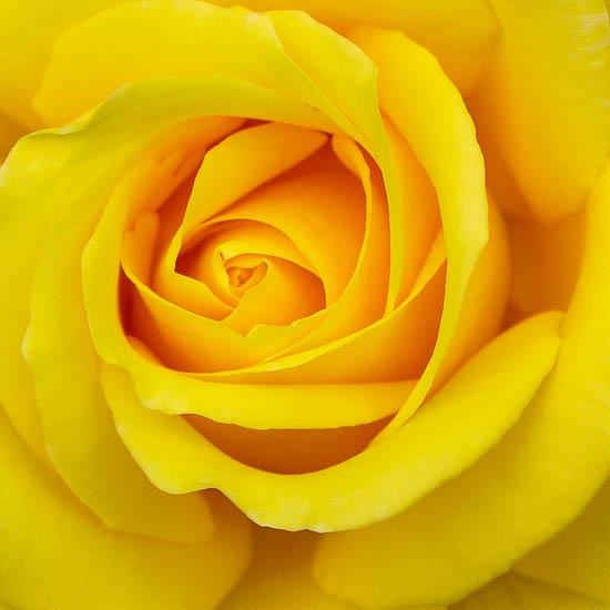 Hoa hồng màu vàng có ý nghĩa gì?