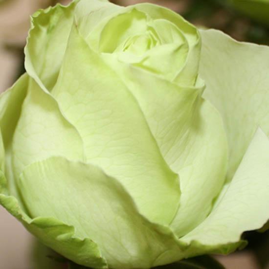 Hoa hồng màu xanh lá cây