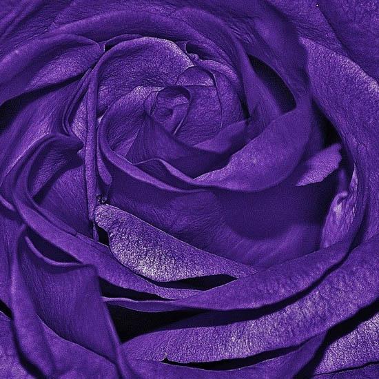 Hoa hồng tím - hay hồng lavender -ngôn ngữ loài hoa