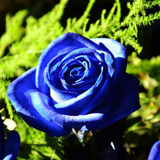 Hoa hồng xanh và thông điệp ý nghĩa