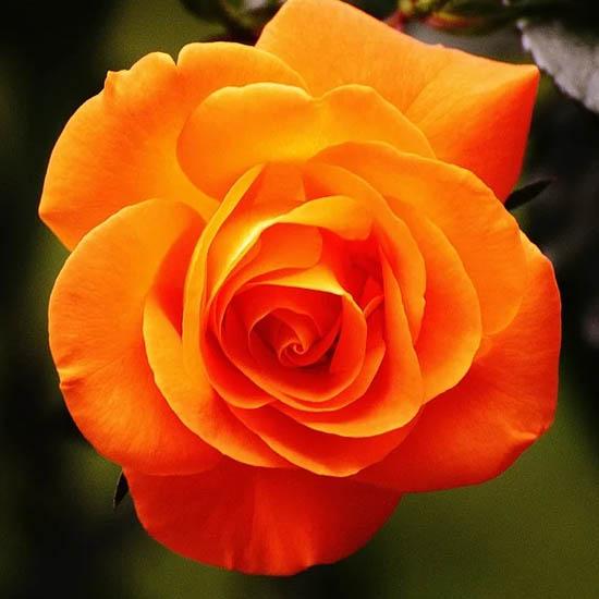 Hồng cam - orange rose mang đến ý nghĩa đặc biệt