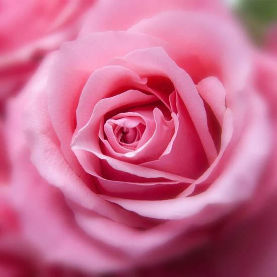 Ý nghĩa của hoa hồng màu hồng hay còn lại là hồng phấn
