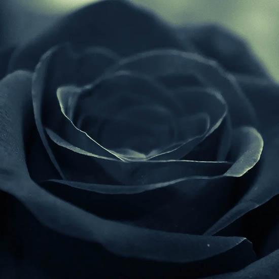 ý nghĩa của hoa hồng đen huyền bí