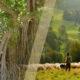 Truyệ cổ tích cậu bé chăn cừu và cây đa cổ thụ